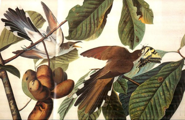 Painting of cuckoos in a pawpaw tree
